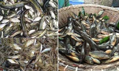 দেশীয় মাছ বিলুপ্ত প্রায়, বিদেশীতে বাজার সয়লাব