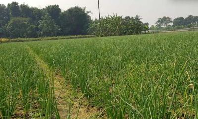 নওগাঁয় ৩ হাজার ৯৬০ হেক্টর জমিতে পেঁয়াজ চাষের লক্ষ্যমাত্রা নির্ধারণ
