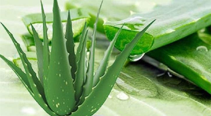 ঘৃতকুমারী (Aloe Vera)