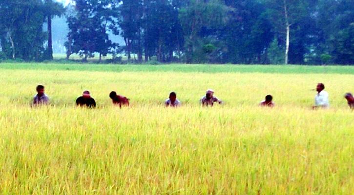 দুপচাঁচিয়ায় কৃষকের ভরসা এখন স্থানীয় শ্রমিক