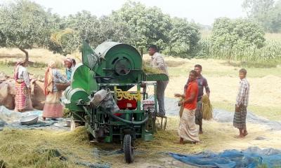 দিনাজপুরে খরিপ মৌসুমে বাম্পার ফলনে ধান কাটার উৎসব