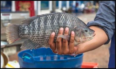 কী করে বাংলাদেশে এসে জনপ্রিয় হয়ে গেলো এই বিদেশি মাছ?