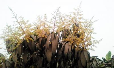 আমের মুকুলের গন্ধে সুরভিত দুপচাঁচিয়ার বাতাস