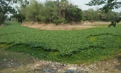 দুপচাঁচিয়ার নাগর নদ এখন কচুরিপানার দখলে