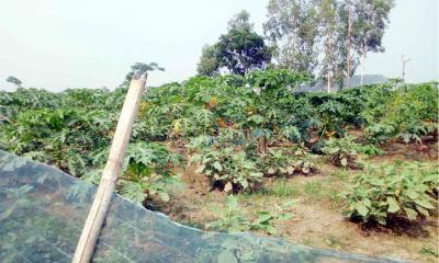 নীলফামারীতে একই জমিতে তিন ফসলের আবাদ