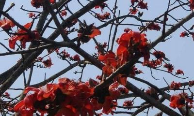 দুপচাঁচিয়ায় বসন্ত-মাধুরী শিমুল গাছ হারিয়ে যাচ্ছে